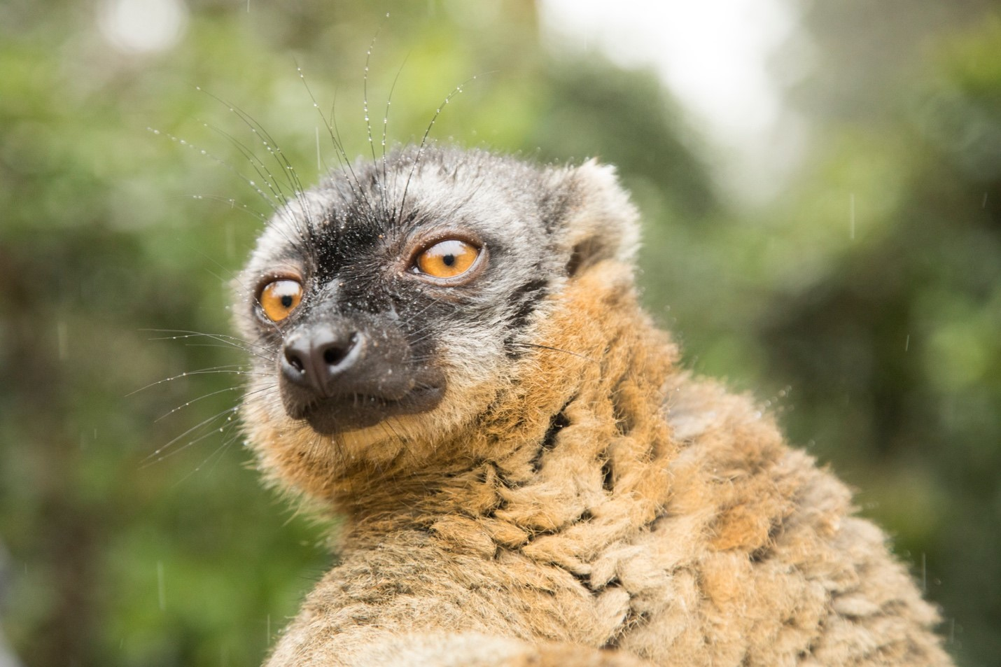 a close-up shot of a brown lemur in madagascar