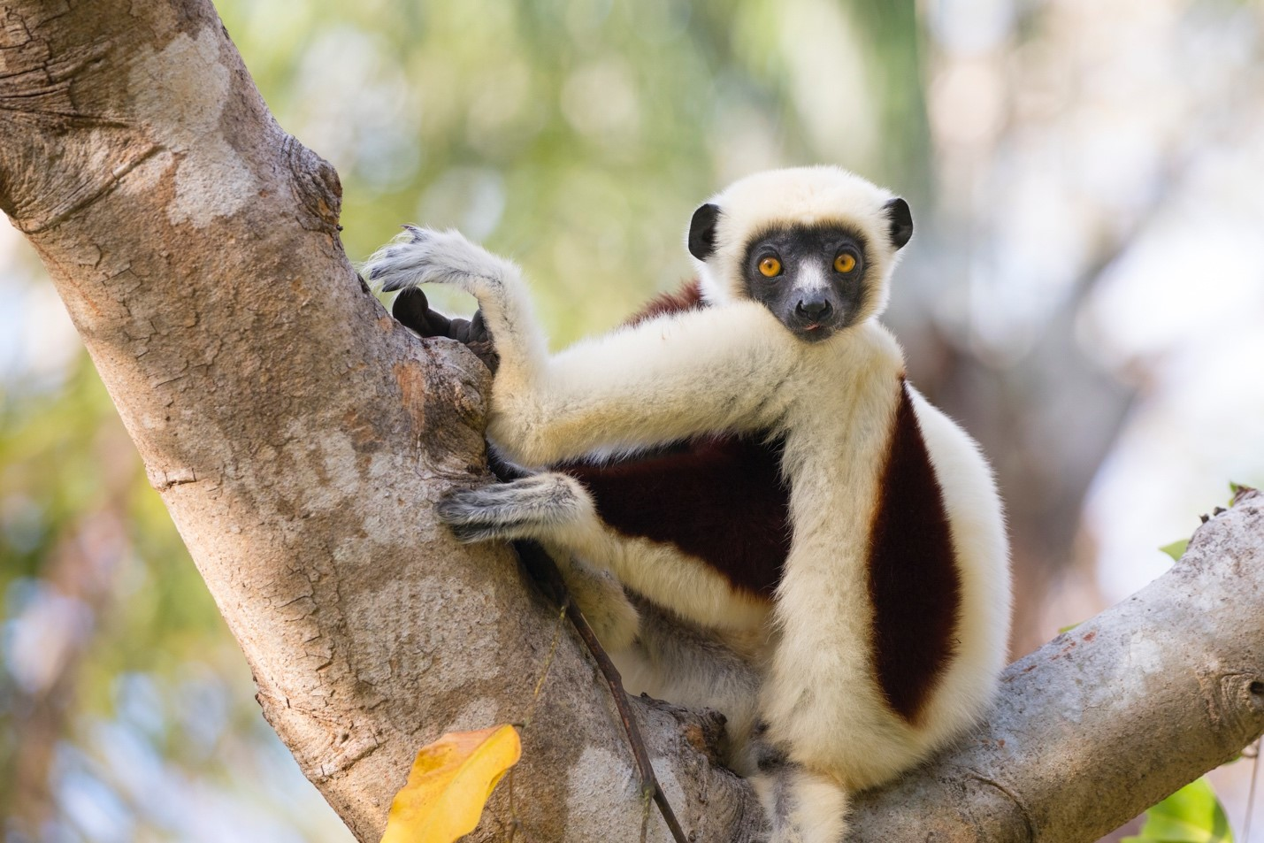 a coquerel's sifaka poses perfectly in a tree in anjajavy