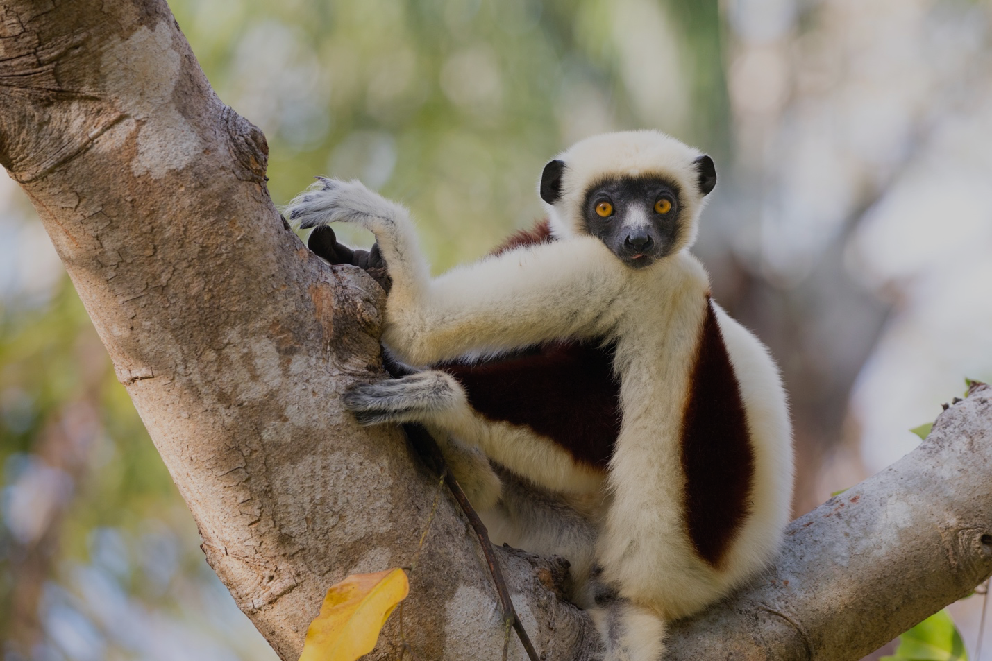 a sifaka in a tree