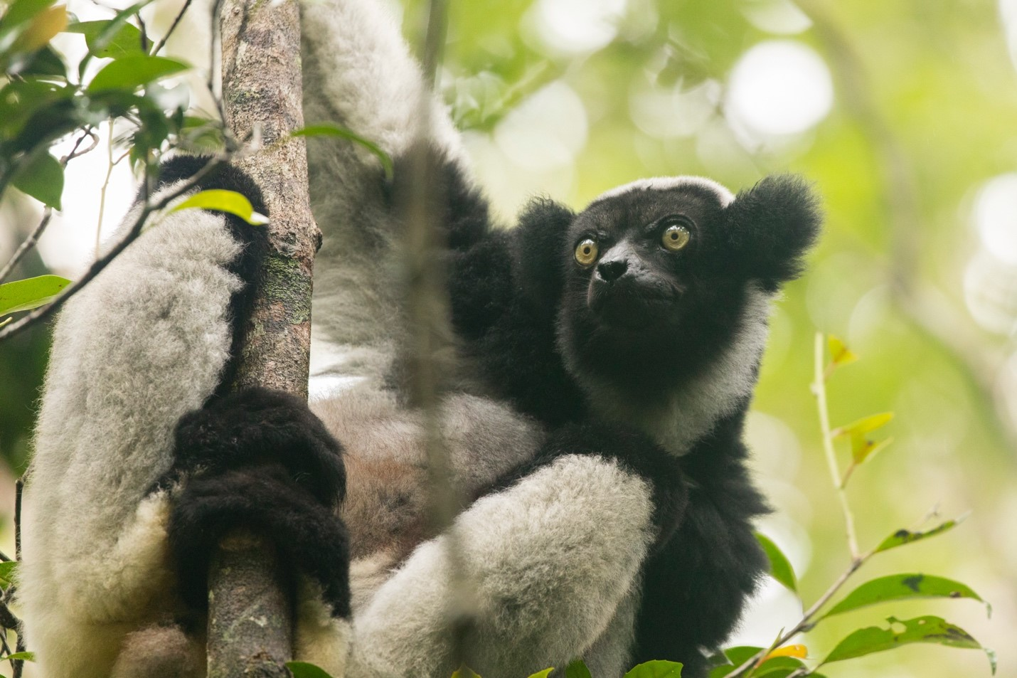 a large indri lemur sits in a tree in andasibe