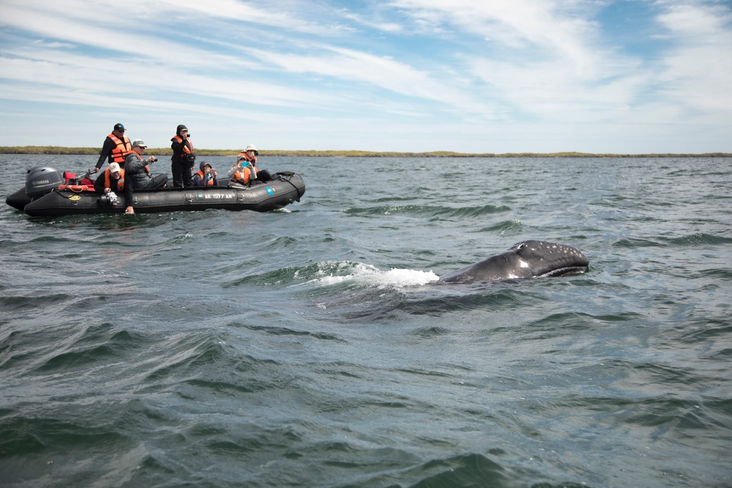 a young gray whale comes to the surface near a group of ecotourists