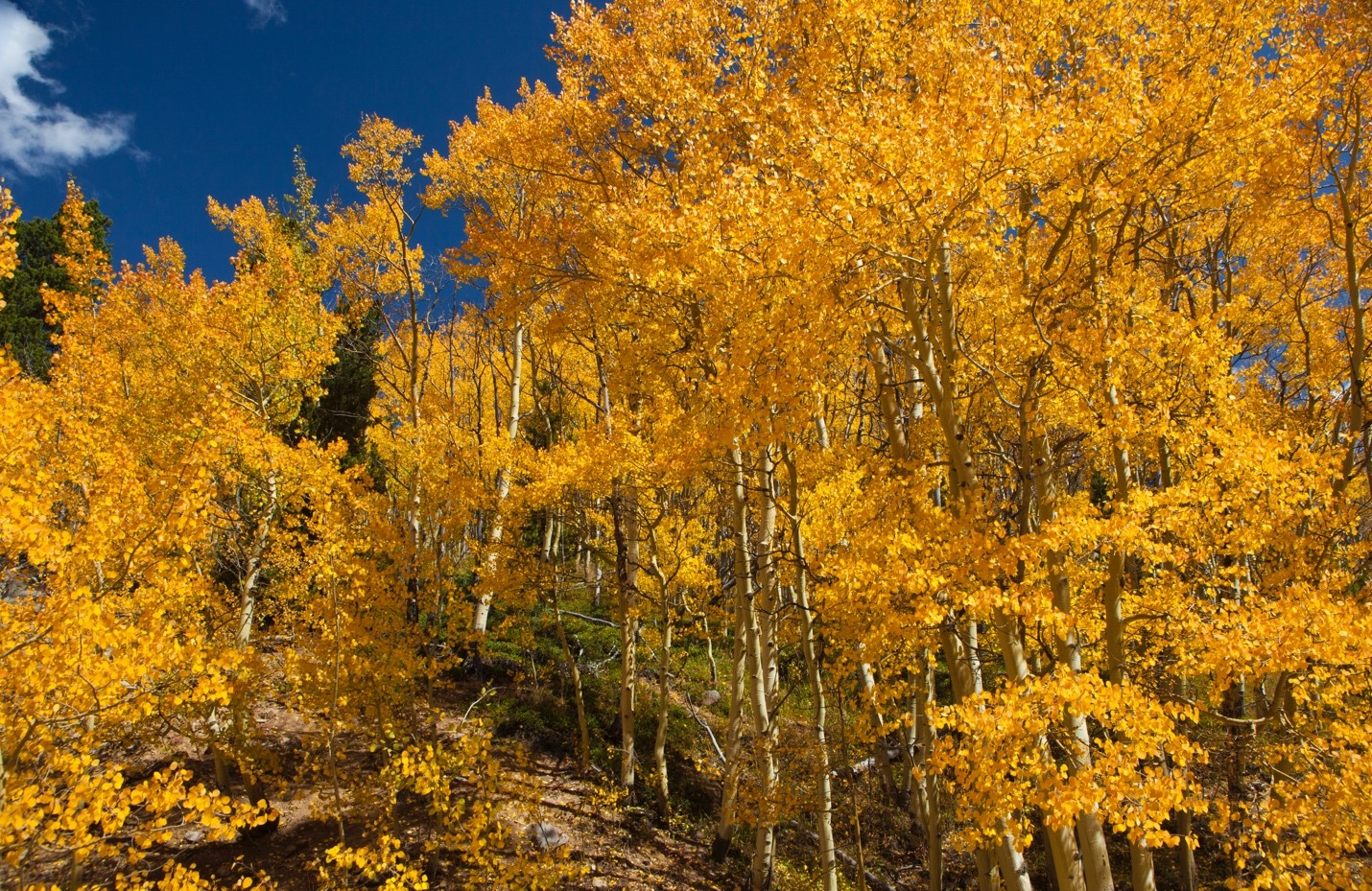 brilliant yellows of aspen leaves in fall in colorado