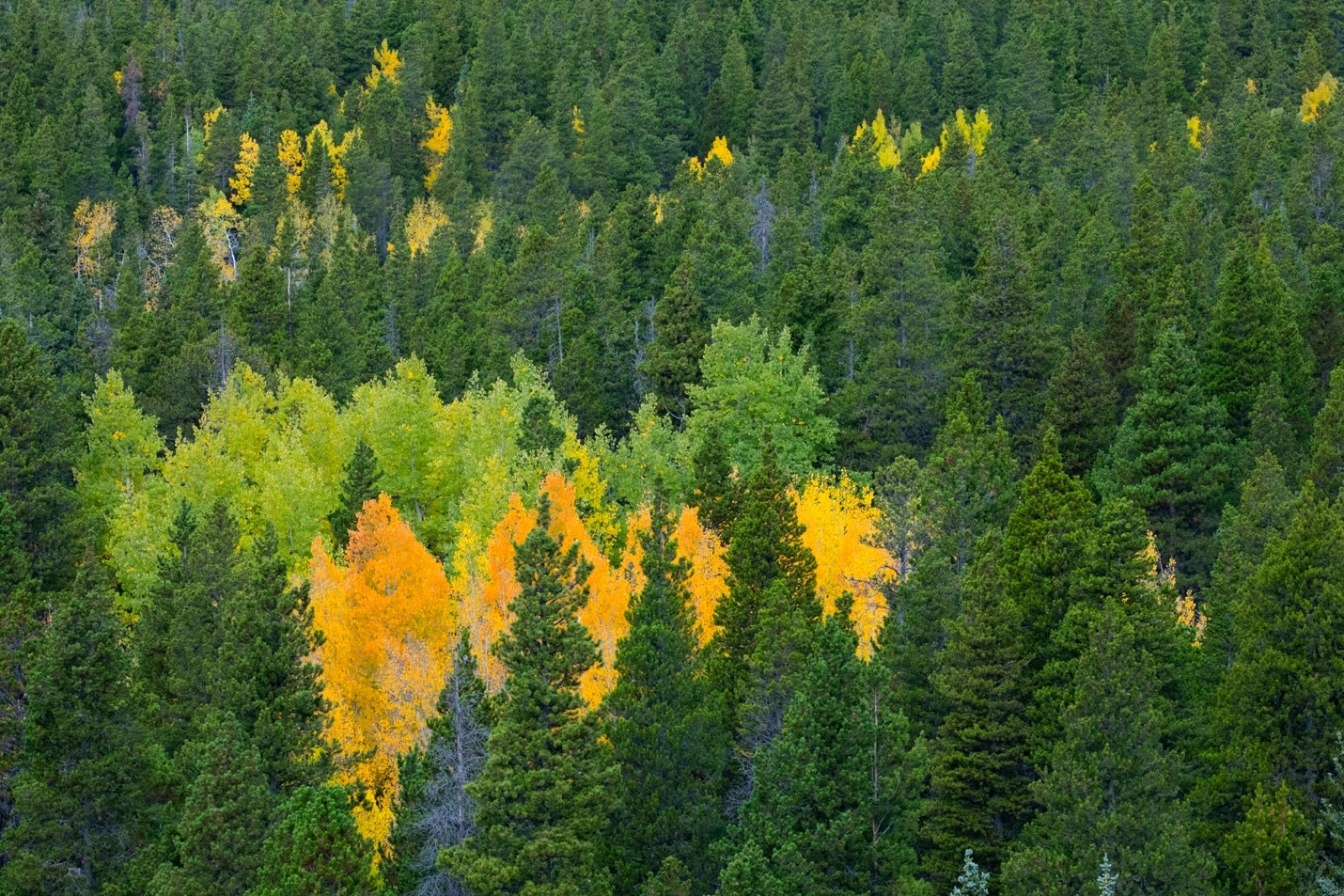 aspen trees change color in a gradient