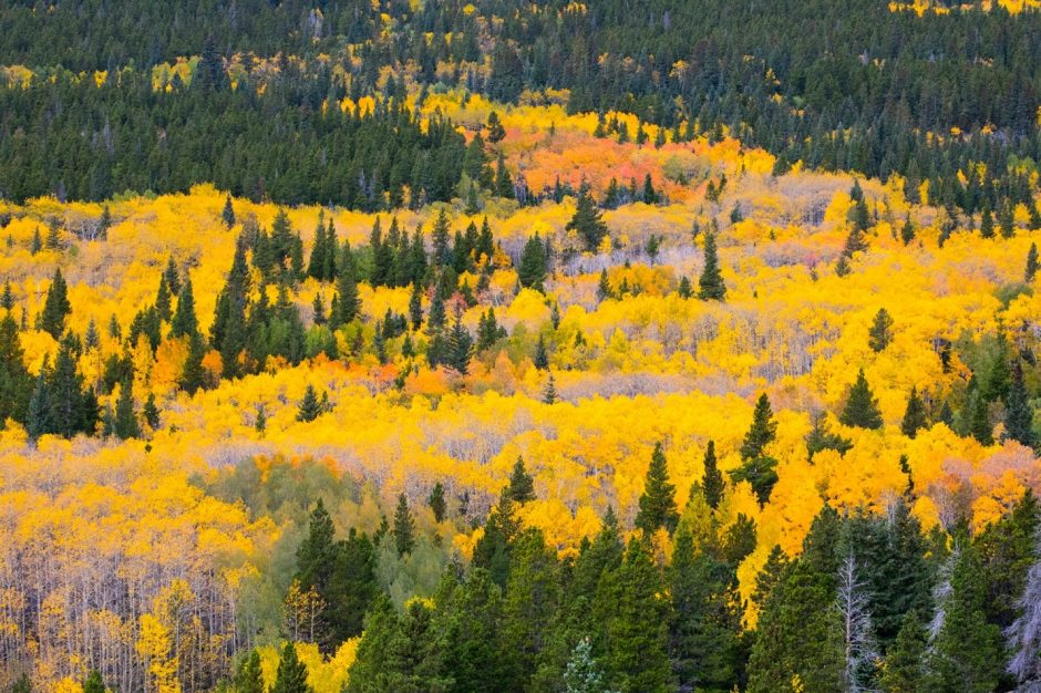 a large patch of aspen trees with brilliant colors