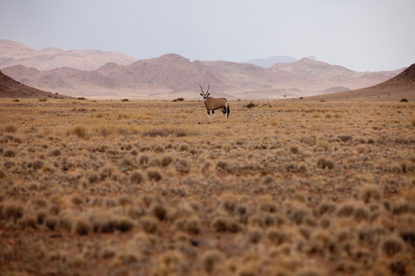 a lone gemsbok stand in namibia