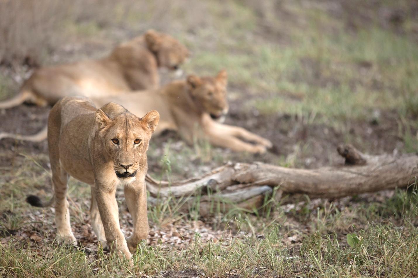 three lions found in etosha national park