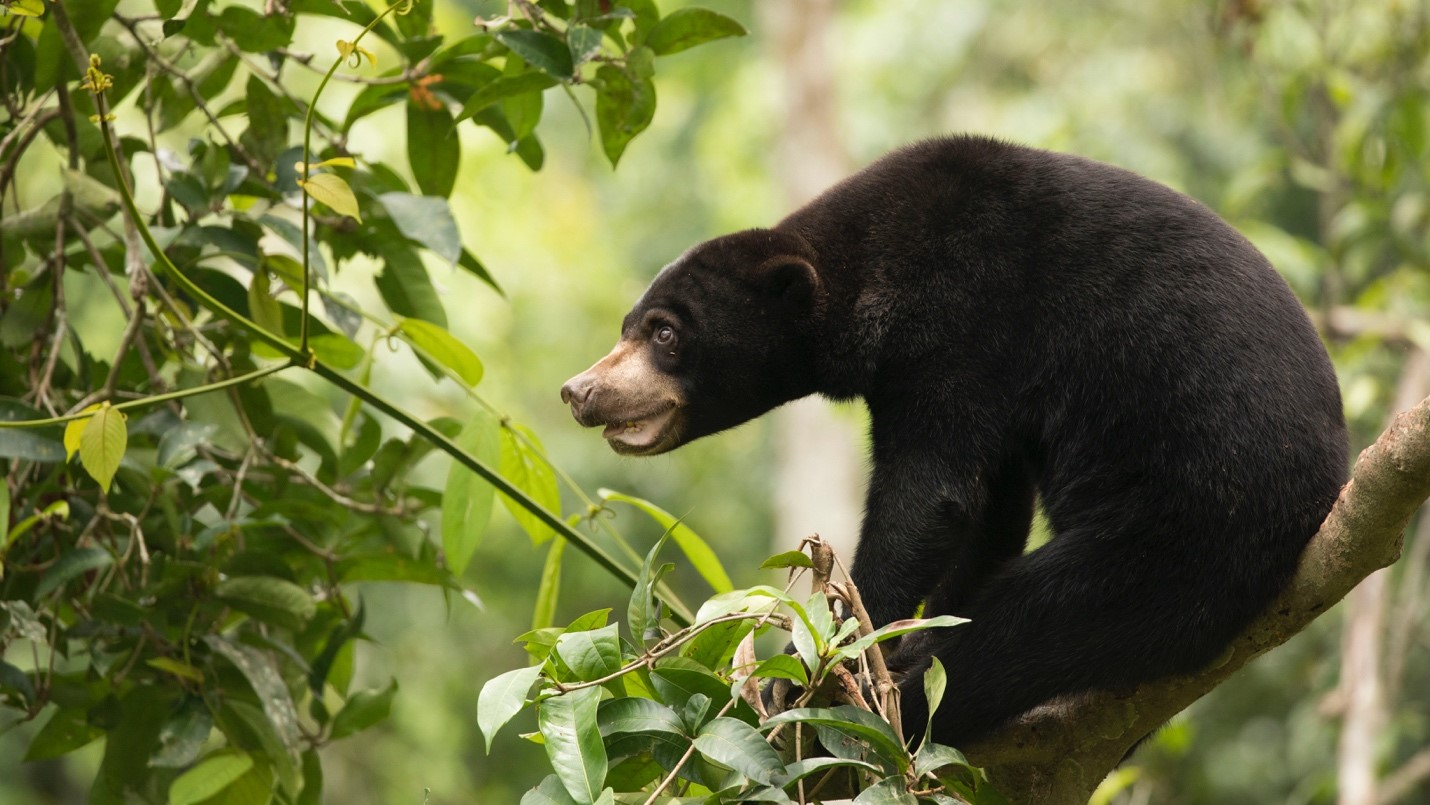 a cute bornean sun bear gives us a profile view