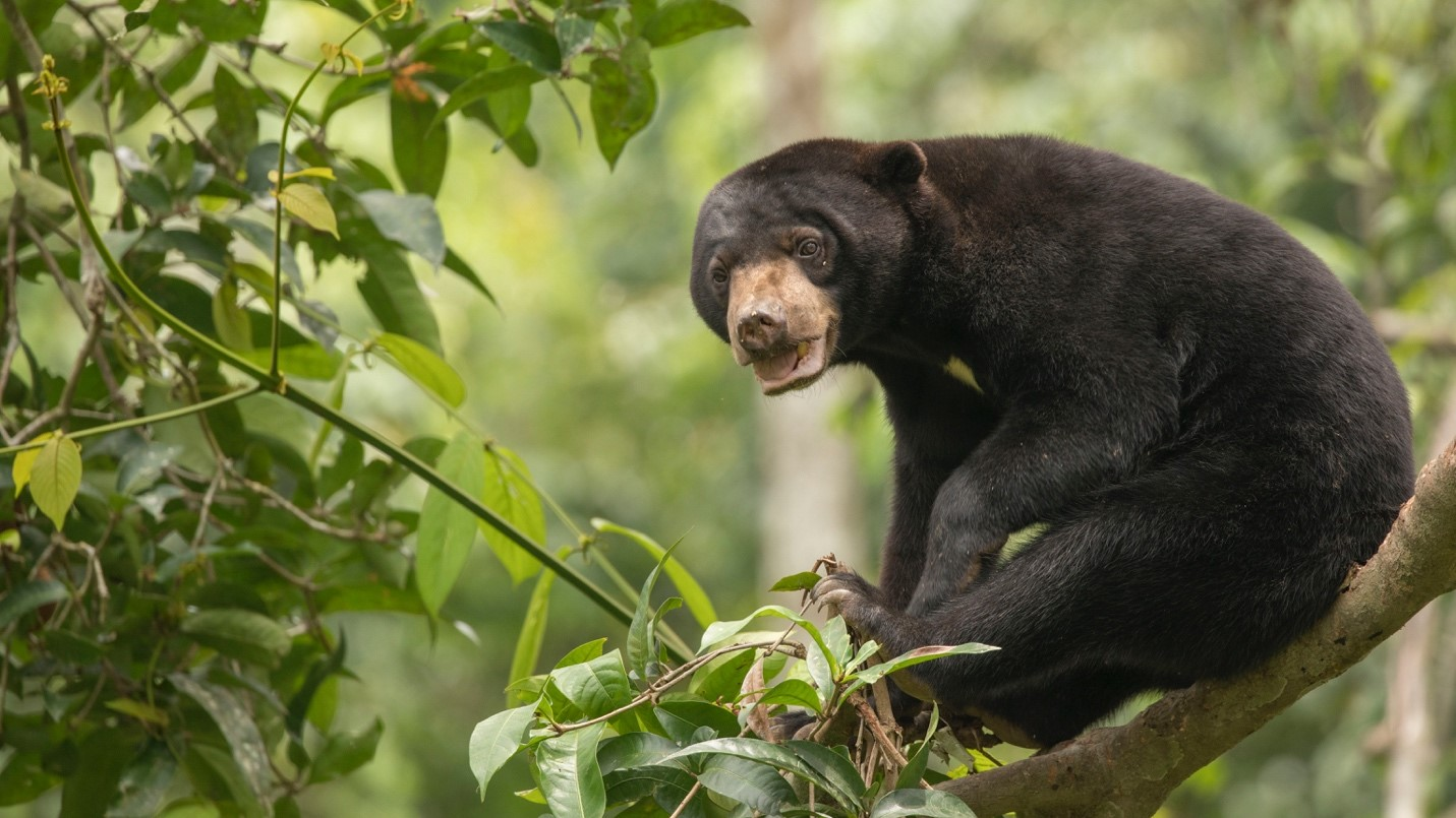 a cute bornean sun bear looks at the camera as it plays
