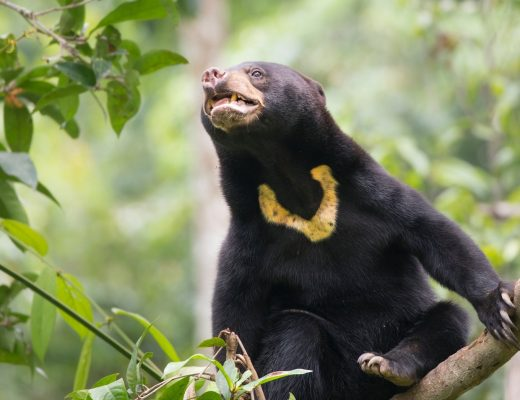 a cute bornean sun bear poses perfectly to see the iconic sun mark on its chest