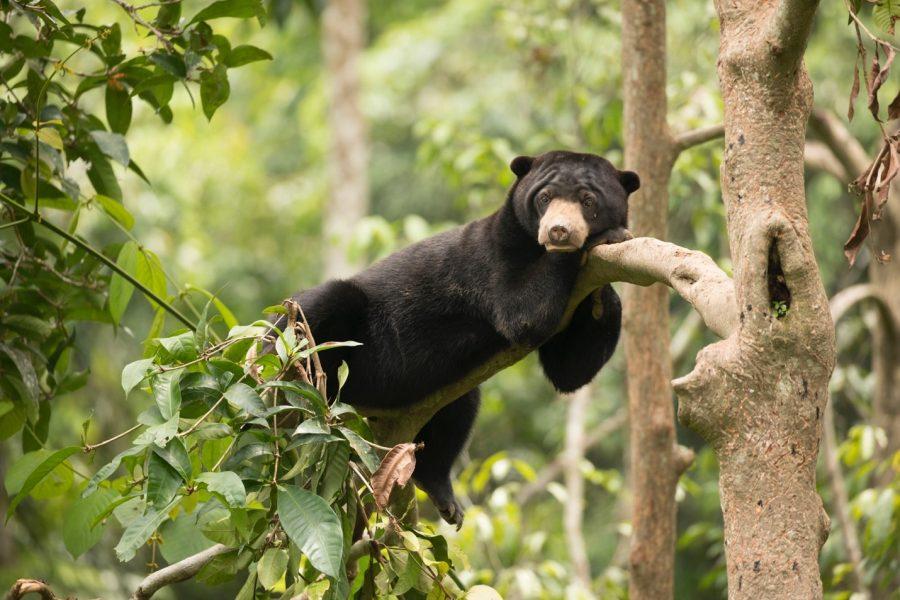 a cute bornean sun bear rests on a tree in sepilok borneo