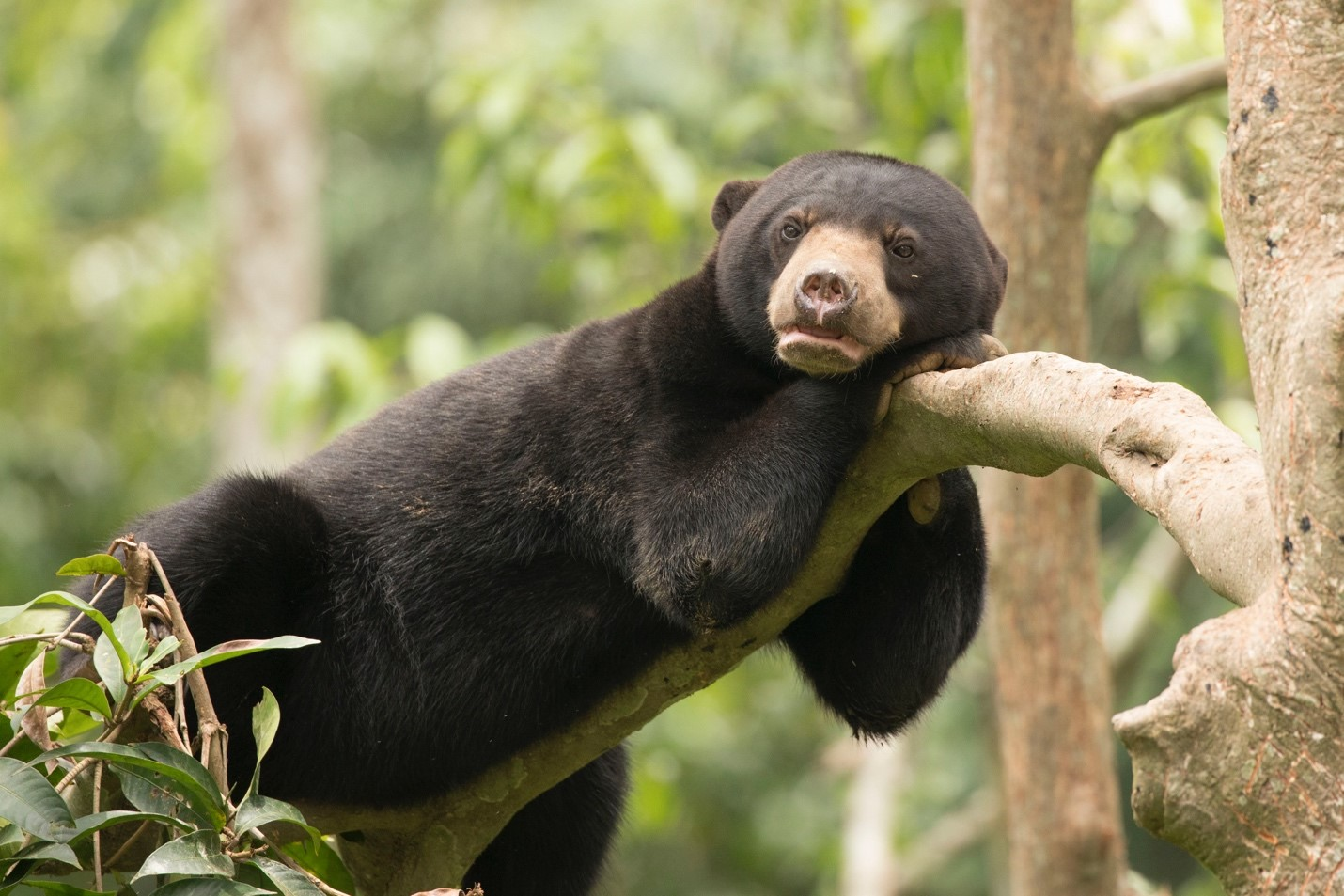 a cute bornean sun bear enjoys the afternoon high in a tree