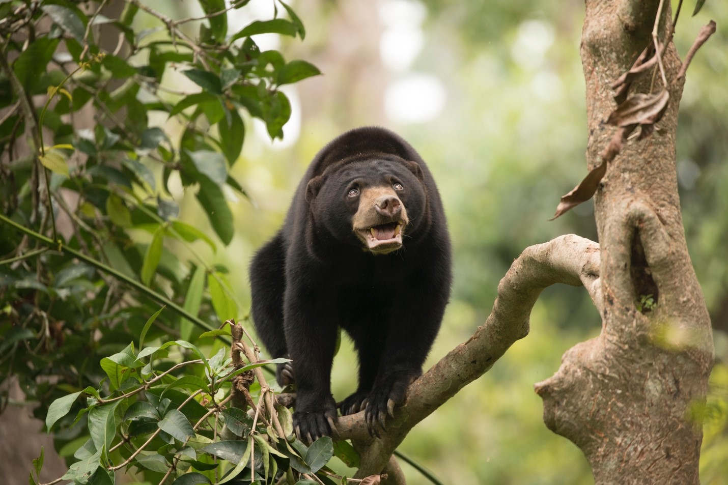 a cute bornean sun bear balances on a branch
