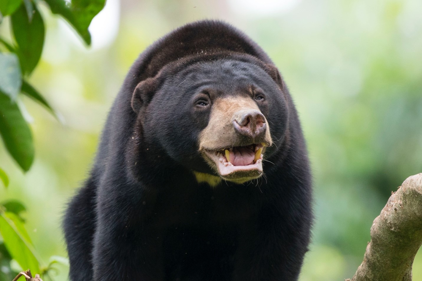 a cute bornean sun bear gets close to the camera and puts on a smile