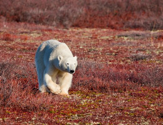a young polar bear walks across the red tundra