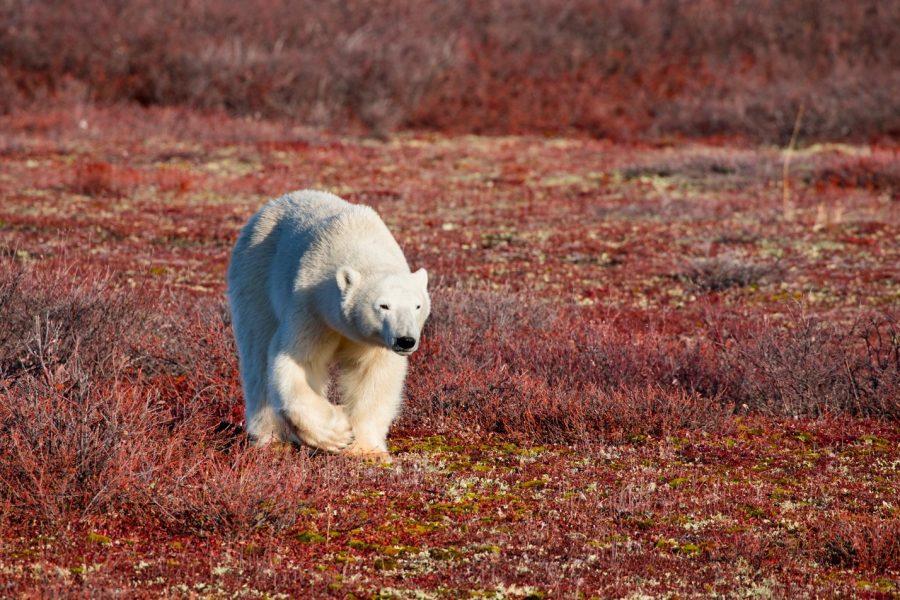 a young polar bear walks across the red tundra