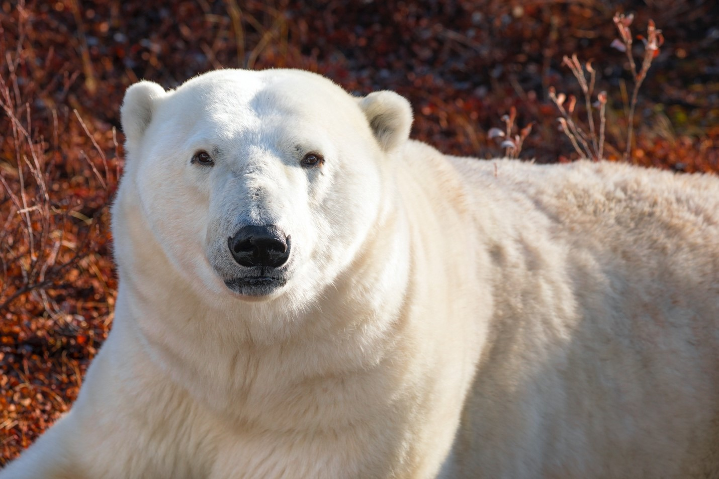 a portrait style shot of a polar bear in churchill manitoba