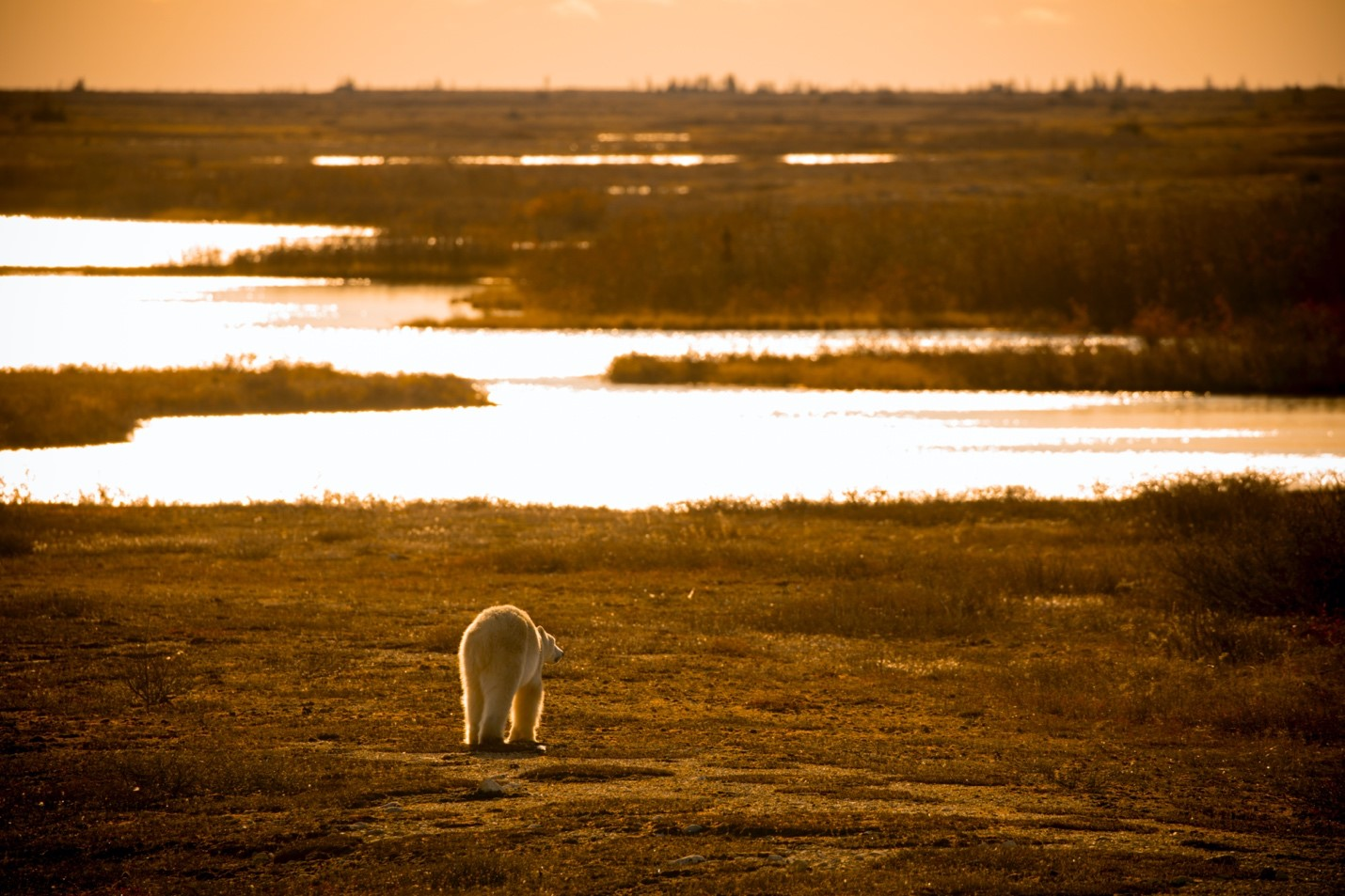 a sun rises and provides golden light to a walking polar bear