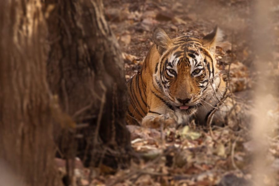 a lone tiger rests peacefully in the leaf litter in india