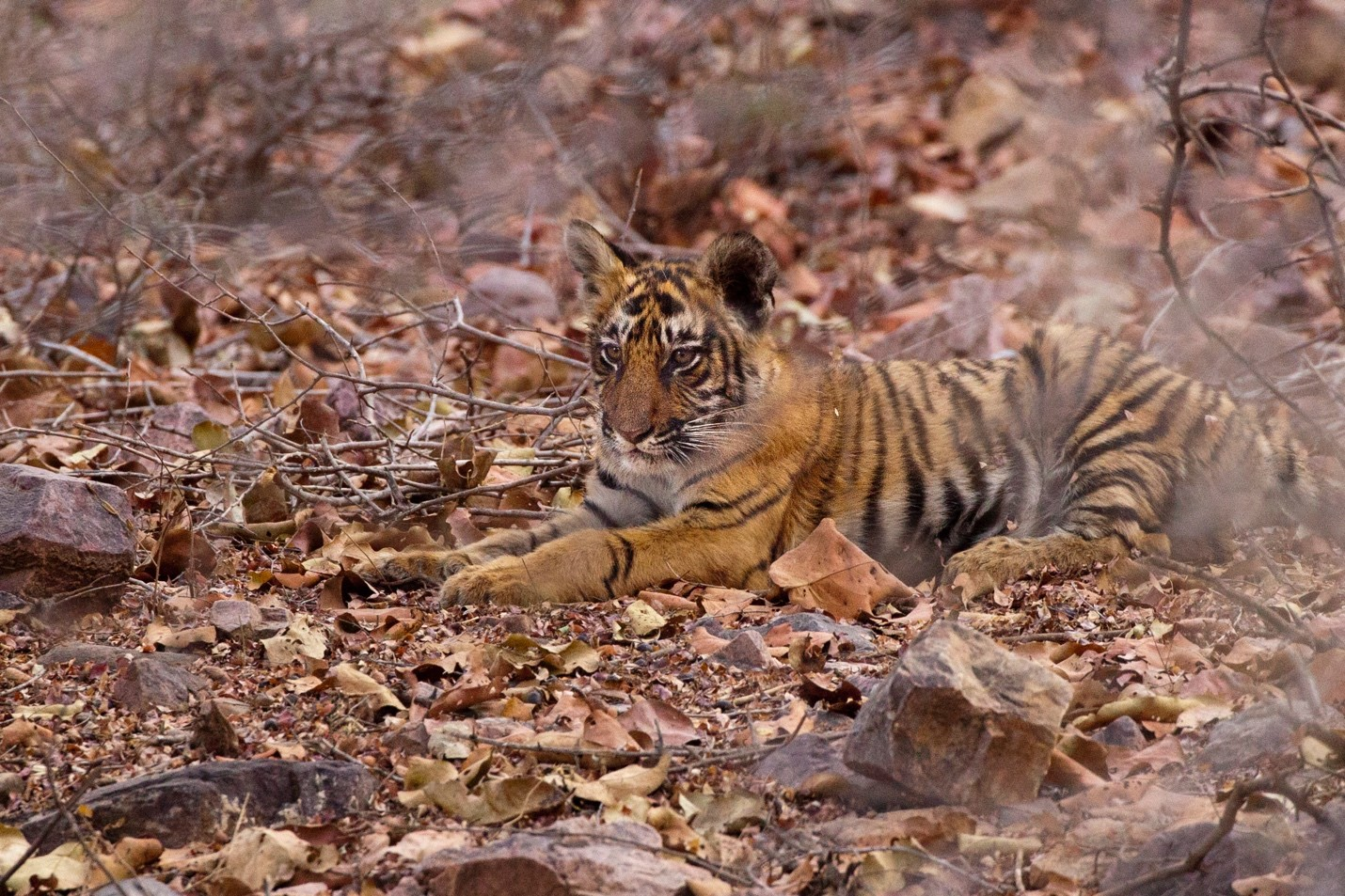 a young tiger cub rests in the brush of india's ranthambore national park