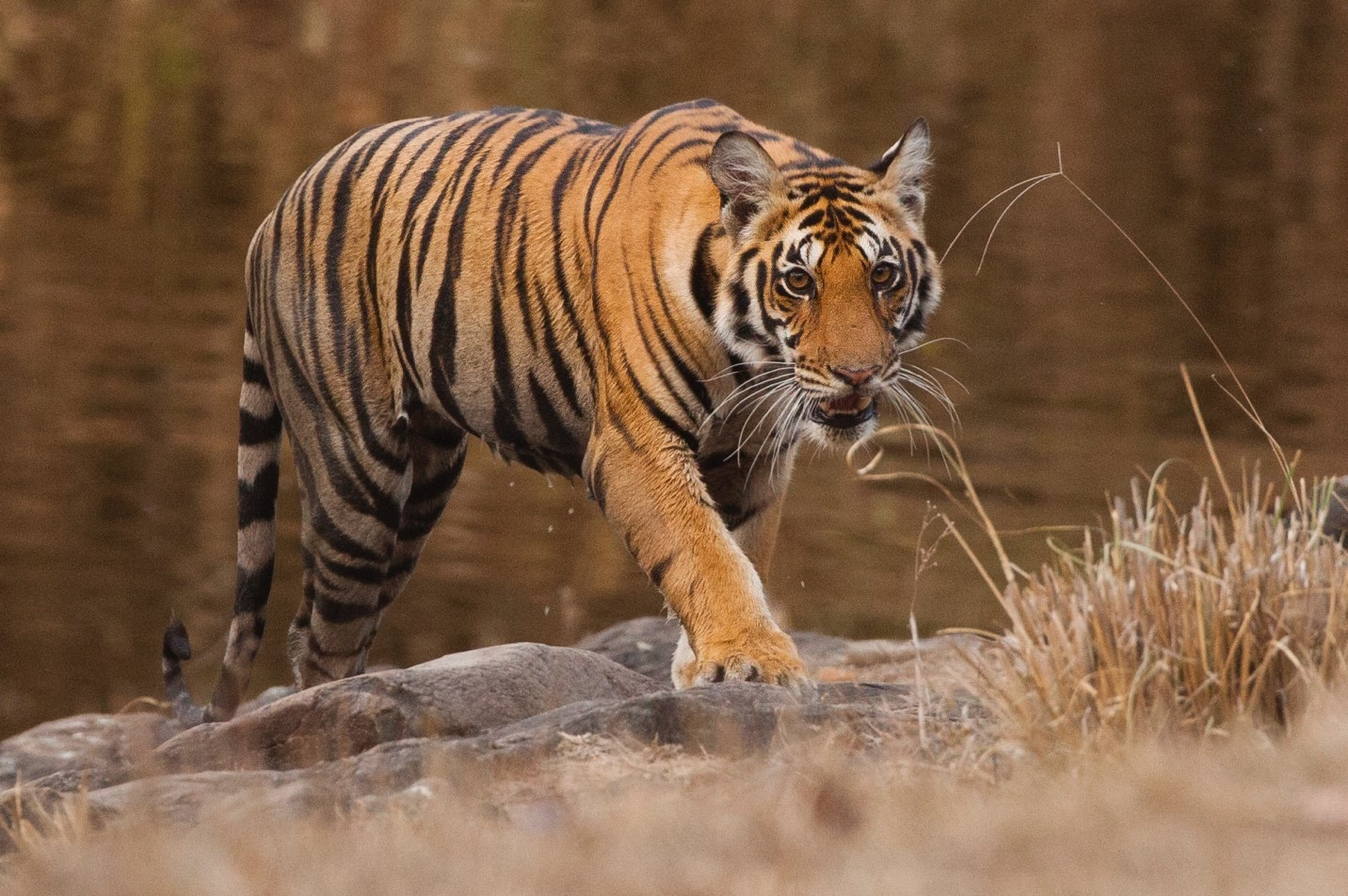 a large tiger walks slowly out of a pond