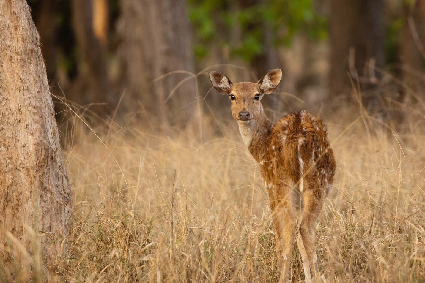 a spotted deer turns its head toward the camera