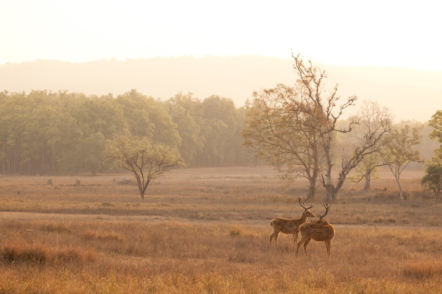 two male deer look picturesque in the landscape of kanha national park, india