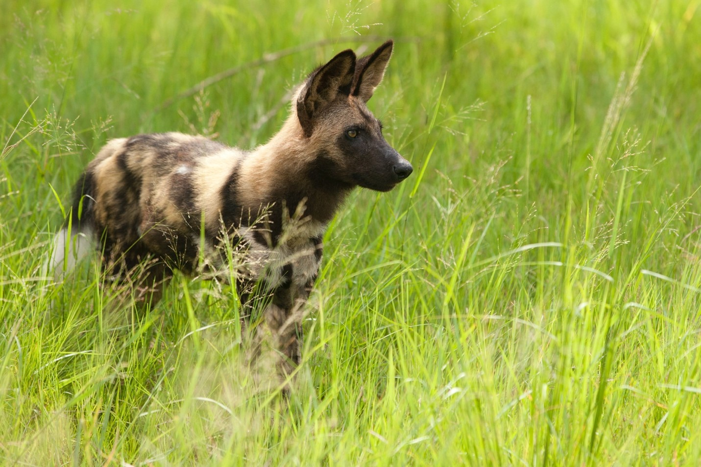 a wild dog poses in green grass in botswana's okavango delta