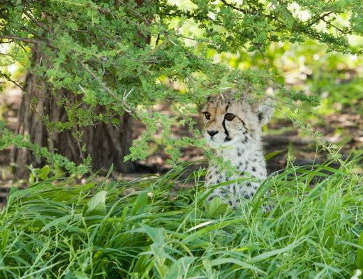a small cheetah cub peers through the vegetation of the kalahari