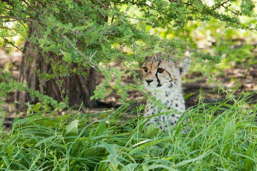 a small cheetah cub peers through the vegetation of the kalahari