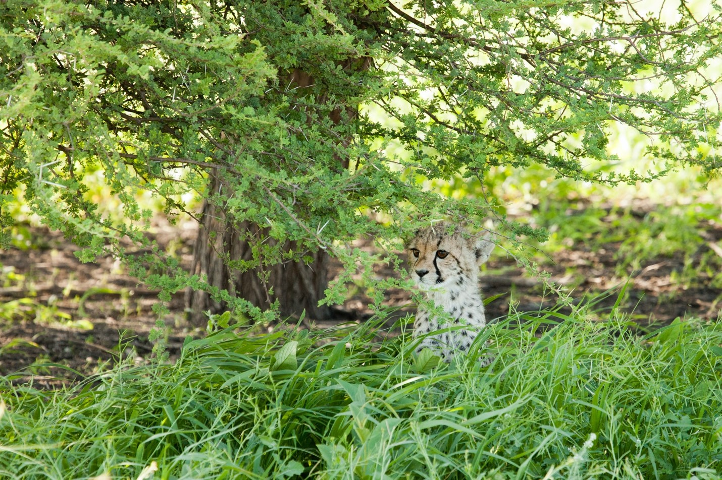a baby cheetah is in the grasses of the kalahari