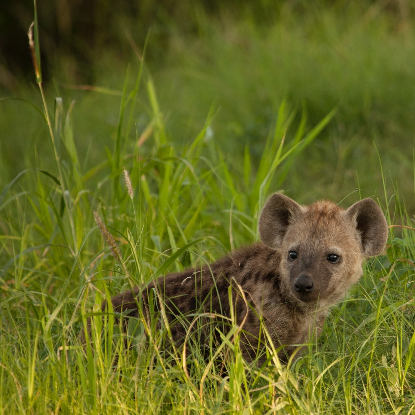 a baby hyena poses in the grass in botswana's okavango delta