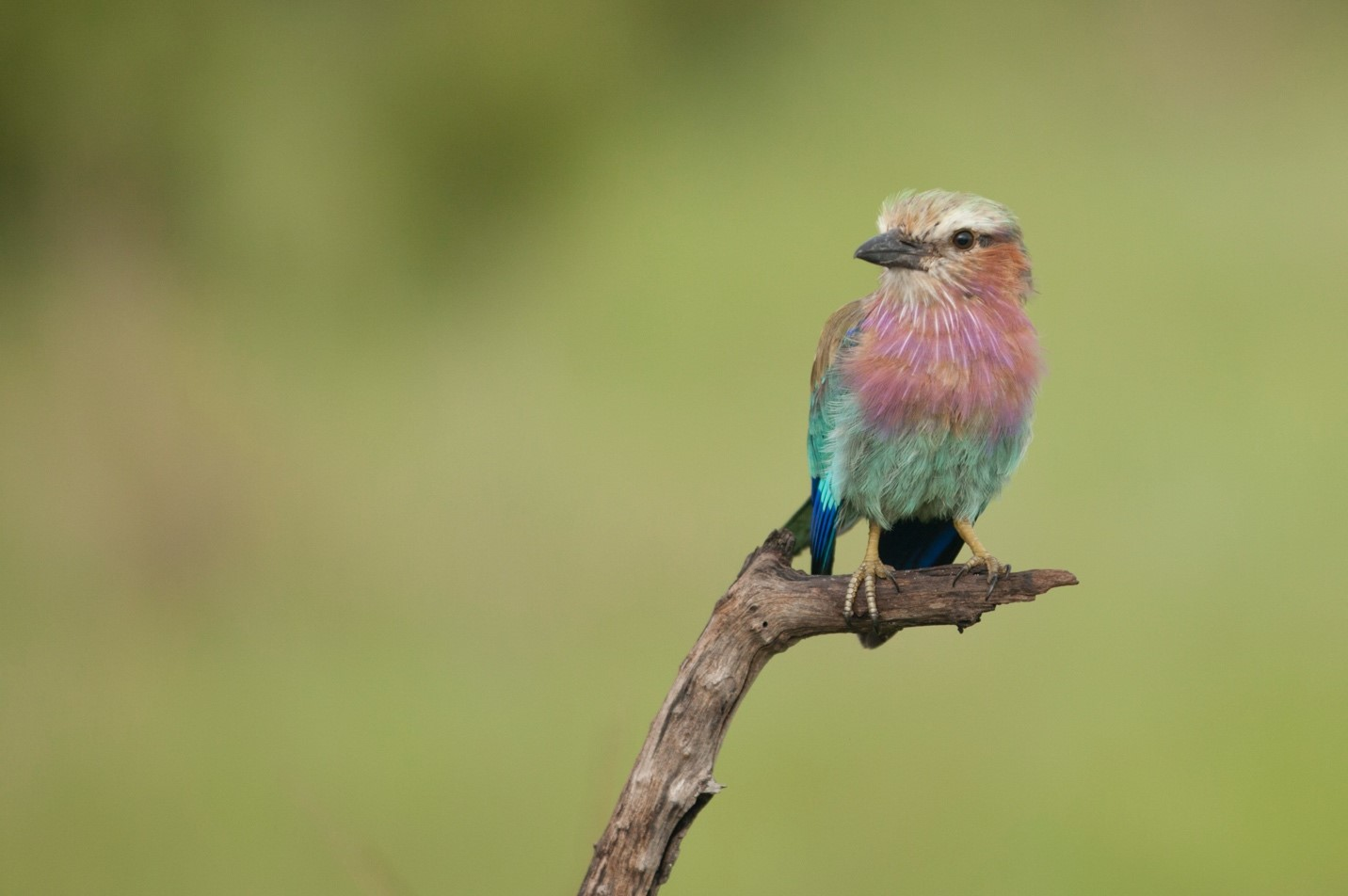 a colorful lilac-breasted roller perches on a branch