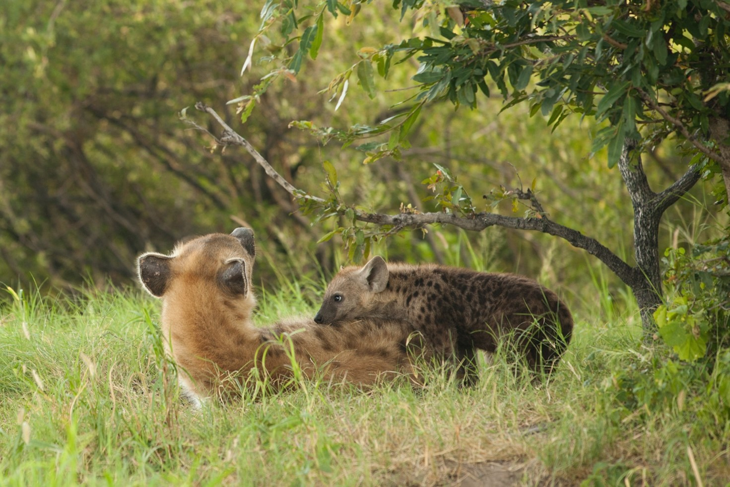 a young hyena plays with its mother in botswana