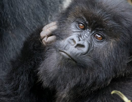 a close up photo of a gorilla in rwanda