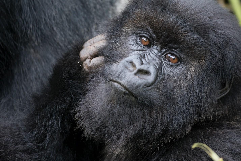 a close up photo of a gorilla in rwanda