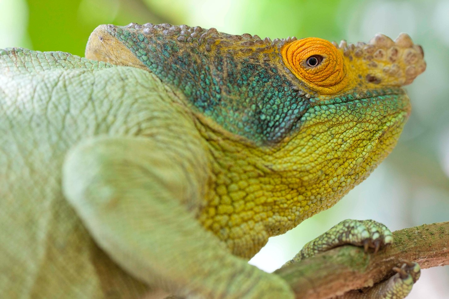 a large chameleon perches on a branch in madagascar