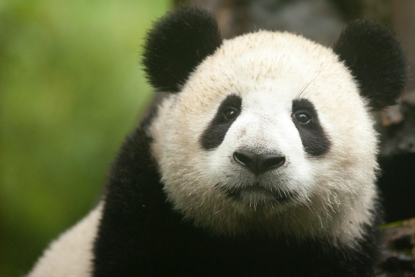 a panda's face fills the frame