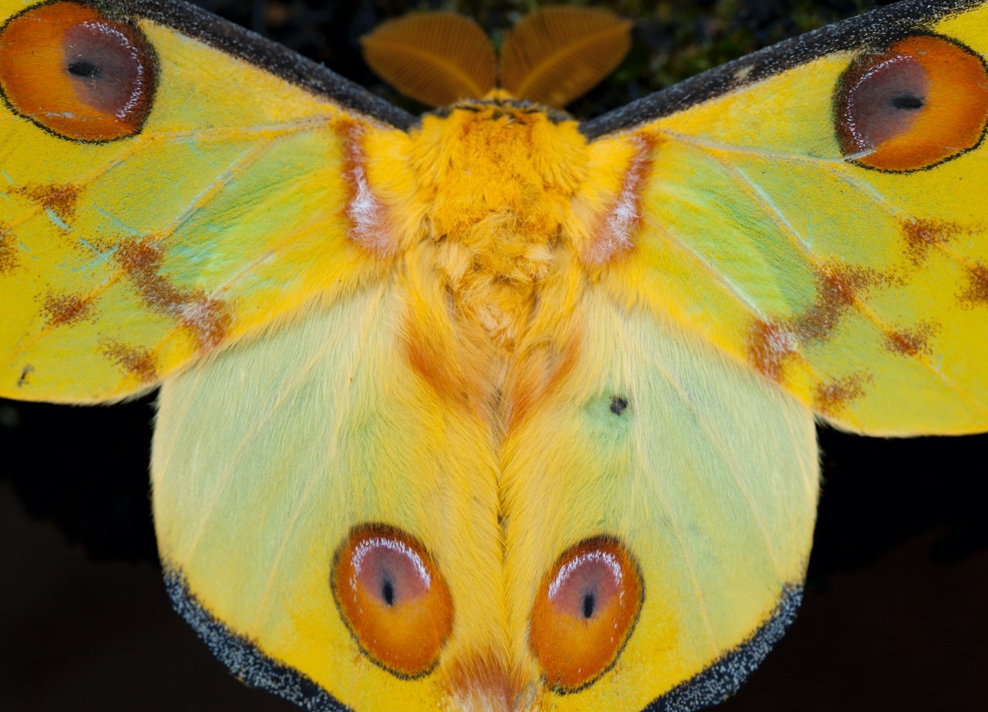 a comet moth in madagascar taken with a macro lens