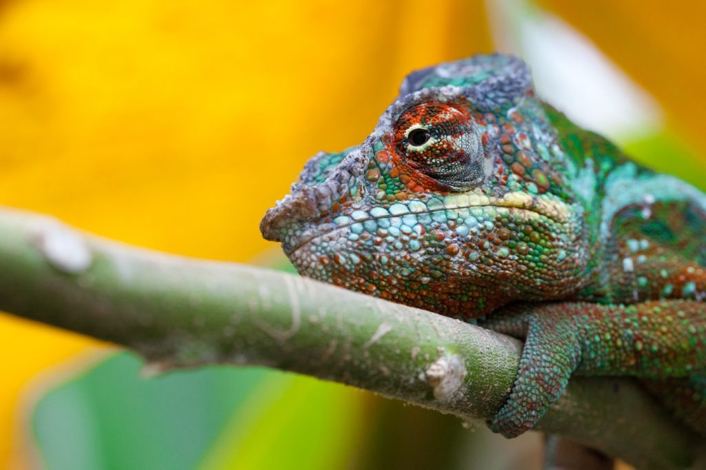 an eye-popping photo of a chameleon in Madagascar