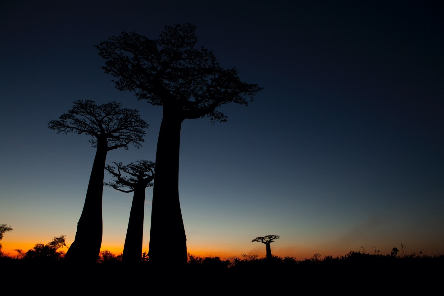 the cool blue of post-sunset silhouettes the baobabs of madagascar