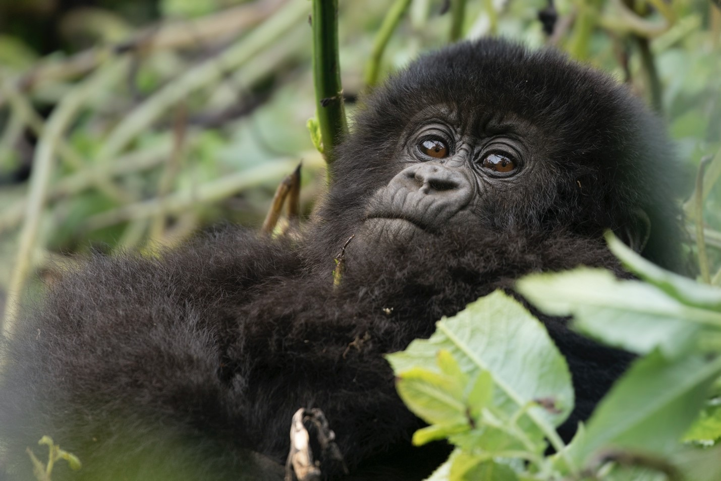 a young gorilla rests in the foliage of the jungle