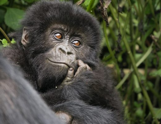 a small gorilla looks off into the distance