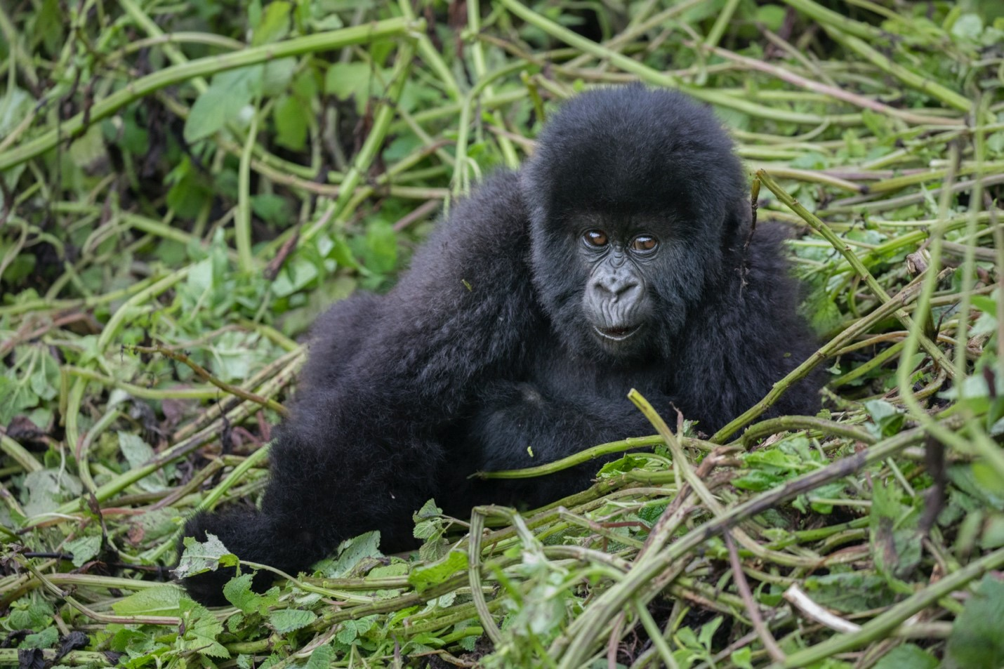 a baby gorilla poses for a photograph with a tangle of vines around it