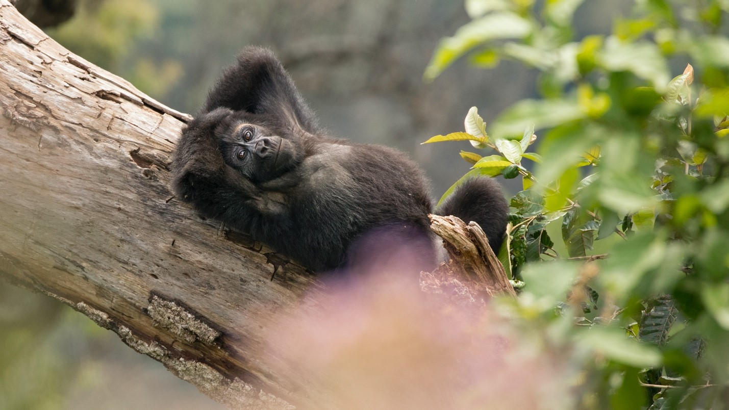 a gorilla lounges on a tree trunk