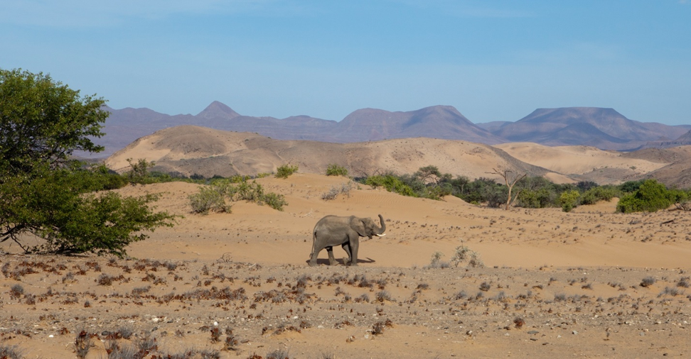 a lone elephant roams the grand namib desert