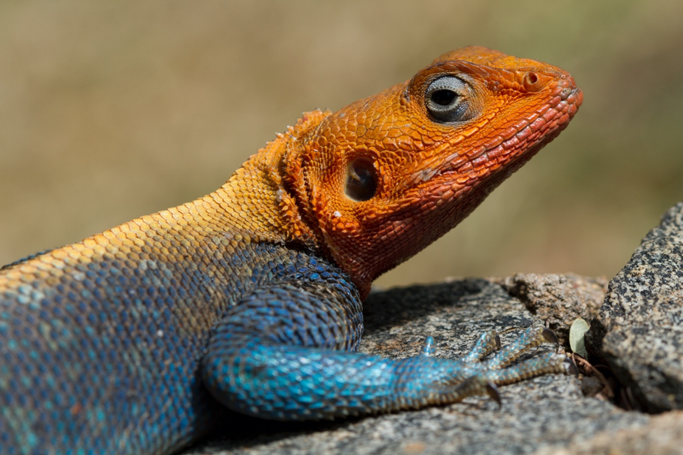an orange and blue agama lizard perches in kenya