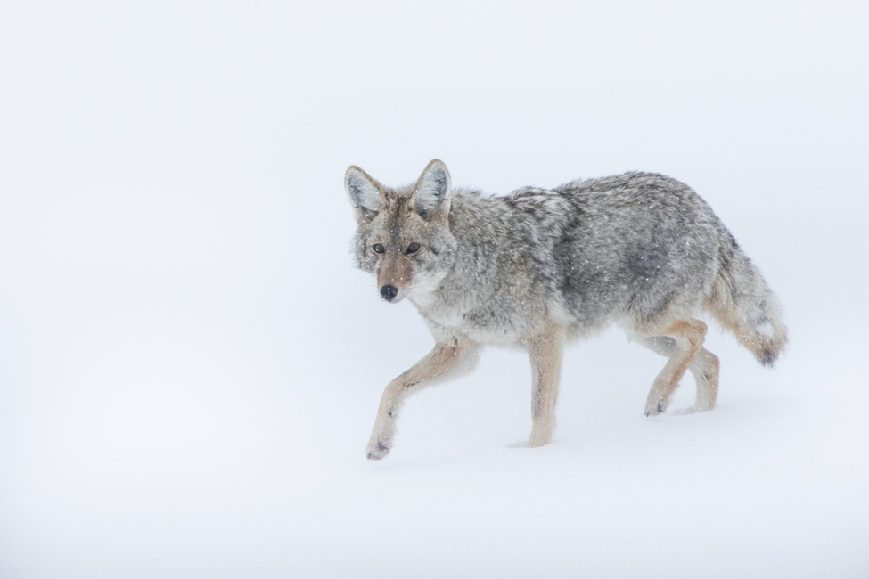 a lone coyote runs across the snow in yellowstone national park