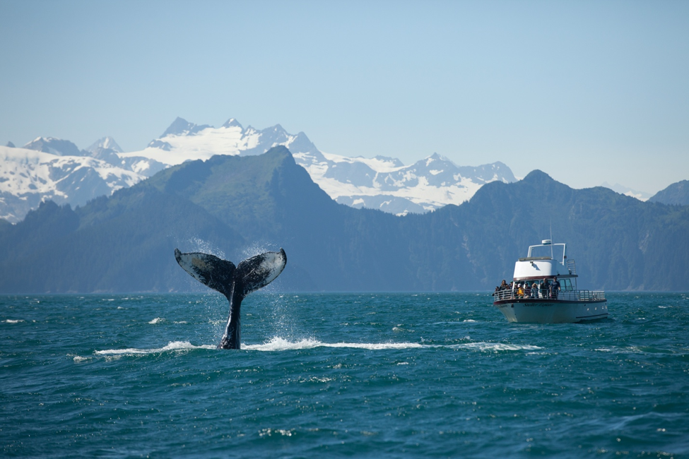 a humpback whale tail emerges in alaska's kenai fjords