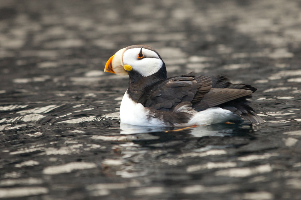 a puffin paddles in the alaskan water