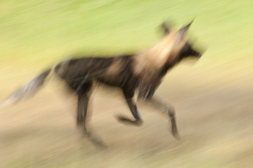 a blurred photo of a fast wild dog